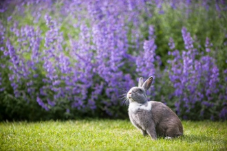 Jingles with lavender 436